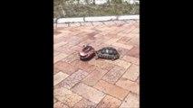 Une tortue fait tout son possible pour remettre sa congénère à l'endroit