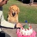 Ce chien n'aime vraiment pas qu'on touche à son gâteau d'anniversaire. Trop marrant !