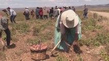 """Las papas, la """"columna vertebral"""" de los productores en el altiplano de Bolivia"""