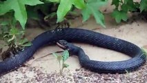 Ce serpent recrache son diner : un autre serpent qu'il a avalé vivant