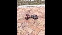 Cette tortue fait tout son possible pour remettre son ami sur ses pattes... belle preuve de solidarité
