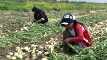 Turfanda soğan fiyatları düşürecek...5-6 lira arasında değişen fiyatların yarı yarıya düşmesi bekleniyor
