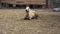 Sivas'ta, Şüpheli Hayvan Ölümleri Tedirginliği