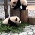 Les pandas sont trop adorables. Cette compilation va vous redonner le sourire !