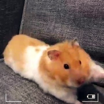 Ce hamster fait des étirements. A mourir de rire !