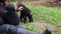 Cette femme qui aide les bébés singes orphelins va être très surprise. Regardez !