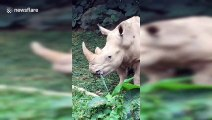 The son of China's first white rhinoceros meet tourists in Guangdong