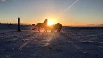 Stallions Play During Stellar Sunrise