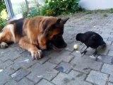 Un corbeau joue à la balle avec un chien... Trop mignon