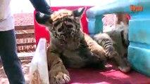 Bébés Animaux: Lion Bébé, Bébé Tigre & Bébé Hyène Cub Animal Mignon! | {Extreme}