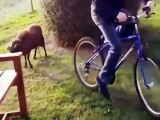 Quand on heurte un bélier avec un vélo. Sa réaction est à mourir de rire !