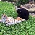 Quand un petit chimpanzé embêtent deux jeunes tigres, voici ce que ça donne. Trop drôle !