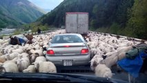 Des centaines de moutons causent un embouteillage sur cette route