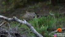 Un blaireau vient sauver son petit attaqué par un léopard !