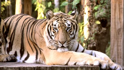 Tiger's Long Claws Become A Problem
