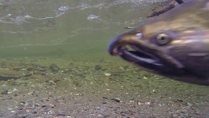 Ecologistas piden pesca sin muerte para salmones y truchas de Asturias ante la crítica situación de las especies en los ríos