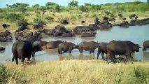 Hippo vs Crocodile Hippos Come to Rescue Wildebeest from Crocodile
