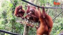 Orang-Outan Pré-Scolaire: Traumatisée Bébé Singe Sur Le Chemin De La Guérison | {Extreme}