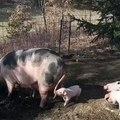 Bébé cochon a envie de jouer avec sa maman. Ce qu'il lui fait est trop marrant !