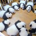Ces bébés pandas adorent jouer ensemble. Trop cute !