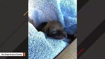 Rescued Puppy Turns Out To Be A Coyote