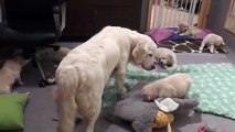Cette maman chien montre à ses chiots qu'ils sont trop grands pour téter
