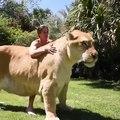 Voici un Ligre : C'est un croisement entre un Lion mâle et une Tigre femelle