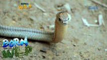 Born to Be Wild: Examining the condition of a king cobra in Valencia City, Bukidnon