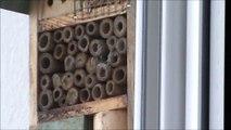 abeilles maconnes