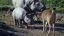Ce bébé rhinocéros découvre le monde et c'est trop mignon