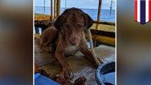 Penyelamatan anjing: anjing terlantar diselamatkan 135 mil dari pesisir Thailand - TomoNews