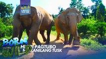 Born to be Wild: Bagong henerasyon ng mga elepante, ipinapanganak na walang tusks