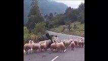 Un troupeau de moutons n'aime pas du tout son berger et le lui fait savoir