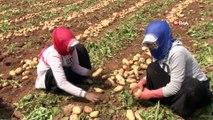 Adana'da patates hasadı başladı...Patates tarlaları havadan görüntülendi