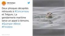 Finistère. Deux phoques retrouvés décapités, la gendarmerie maritime lance un appel à témoins