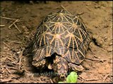 Indian Star Tortoise walking - or rather crawling
