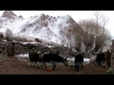 Yaks at home just relaxing, Ladakh..