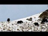 Yaks up on snowy mountain, Ladakh!!