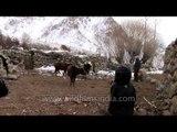 The Yak farm, Ladakh