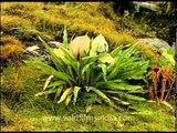 Brahma's lotus, in the Himalaya!