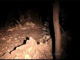 Porcupine raiding a field at night