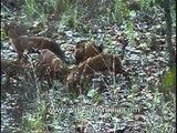Together these Wild dogs can finish an Elephant - Dhole pack!