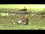 Gleeful new borns of the Indian Bandar or Macaques!