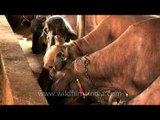 Dairy cow nutrition in India
