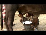 Not pumps but hands on teats to milk a Buffalo in India