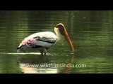 Elongated bill of Painted storks help them to hold slippery fish