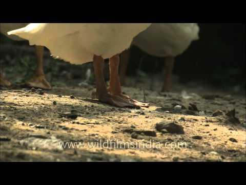 Yellow beak and webbed feet – Geese, Delhi Zoo