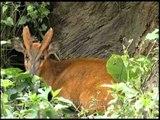 A curious barking deer