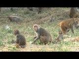 Macaques of Delhi are after food scraps