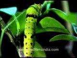 Large green caterpillar